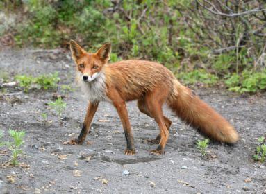 Ungváry Zsolt: A vörös farok