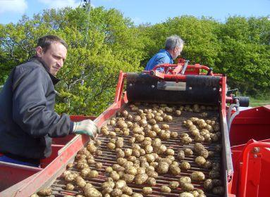 Eltűnhet a krumpli Magyarországról