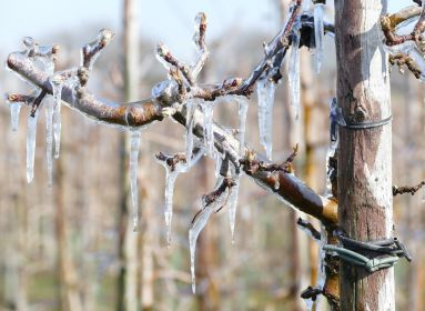 fagyott almafa fagy jég
